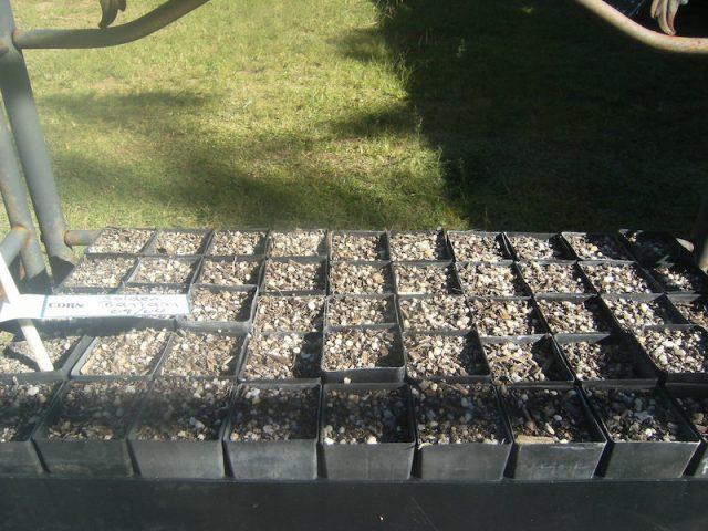 corn seed failure