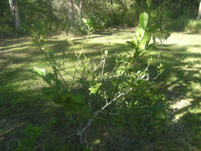 lemon tree denuded