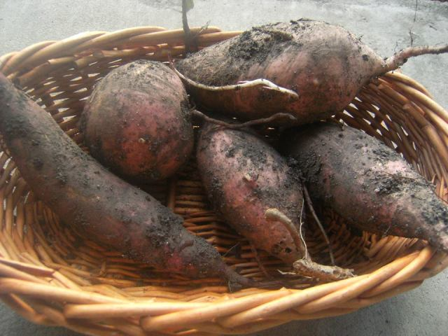 sweet potato harvest bathtub